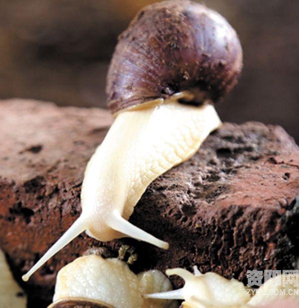 全再琼养殖的白玉蜗牛肉质脆嫩,长势喜人.-乐至打工女 回乡养蜗牛