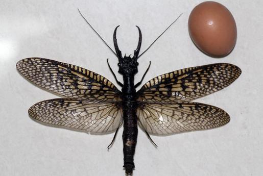 昆虫翅的基本结构
