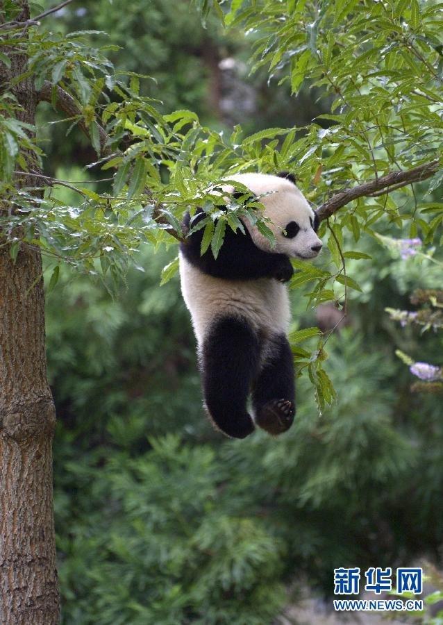 壁纸 大熊猫 动物 638_900 竖版 竖屏 手机