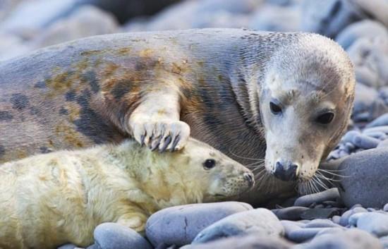 海豹母亲深情吻子 抚摸对视萌态可掬