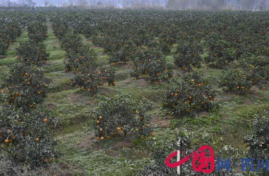 头,广兴坝清见果园一派丰收的景象!12月13日,记者了解到射洪县广图片