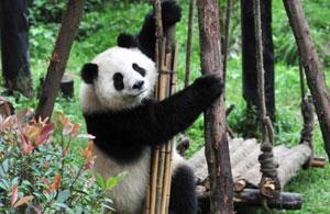 大熊猫囡囡昆明