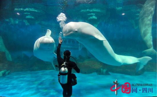 """美人鱼光影乐园 海洋游乐场 两大乐园免费畅玩   成都海昌极地海洋公园6周年全新推出新一代多媒体光影乐园,将多媒体科技与海洋主题相结合,打造动感手鼓、光影拼图、北极熊剧场、幸福拍拍拍等众多丰富趣味的游乐项目,还设有360度海洋环幕、光影隧道、AR鲸鱼等大型光影互动项目。而位于室外的海洋游乐场则是海洋公园最经典的游乐项目之一,桑巴气球、海洋旋转木马、潜水艇等专为儿童设计的游乐设施,兼顾安全与趣味,让孩子玩的尽兴。目前这两大乐园,都不用单独付费,只要购买门票入园后即可免费体验。   """"鲸&r"""