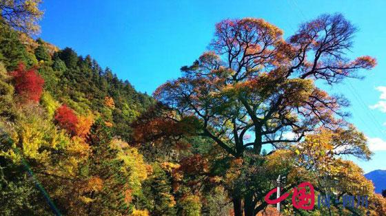 2016四川红叶生态旅游节暨理县米亚罗红叶温泉节将于10月21日开幕