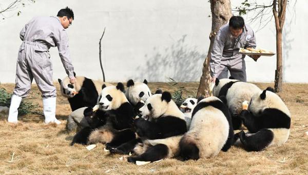 """四川熊猫宝宝齐亮相 围观""""圆滚滚们""""吃团圆餐"""