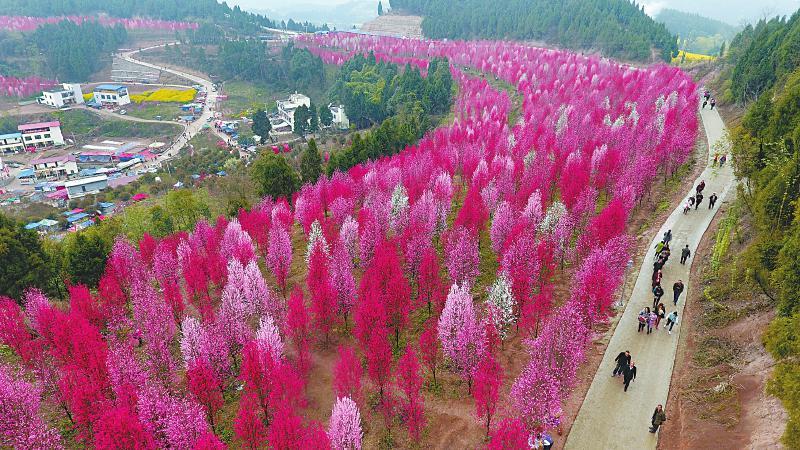 四川中江:打造觀賞桃花谷 拓寬山區致富路