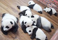 """中国熊猫显身手:能当""""网红"""" 还能搞外交"""
