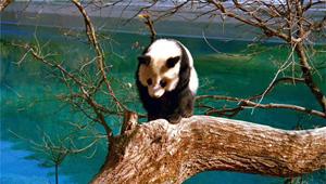 """""""大熊猫、九寨沟携手迈向全球"""" 首届中国大熊猫保护研究""""九寨""""杯国际摄影大赛开赛"""