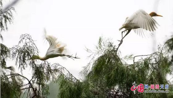 南充阆中黑牛河 鹭鸟的天堂 摄影人的最爱